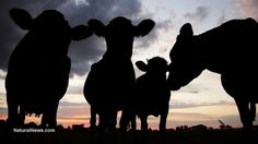 Japanese cows develop skin spots, mysterious disease; farmers fear radiation affecting humans, too