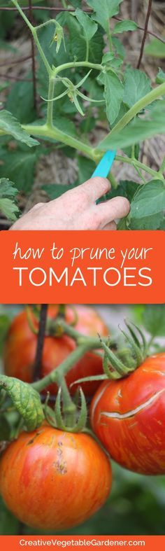 Do your tomato plants grow huge and out of control each year? Do they flop over, get taken over by disease or overwhelm parts of your garden? Do you want bigger tomatoes earlier in the season? If you answered yes to any of these questions then pruning you
