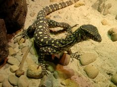The Coolest Desert Animals and Creatures Family Friendly Dogs, Family Dogs, Pet Lizards For Sale, Reptiles, Amphibians, Youtube Dogs, Lizard Species, Hypoallergenic Dog Breed, Dog Crossbreeds