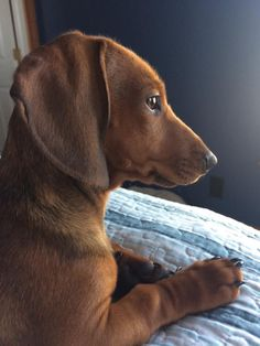 """Receive terrific suggestions on """"dachshund puppies"""". Dachshund Breed, Long Haired Dachshund, Dachshund Love, Cute Puppies, Cute Dogs, Weenie Dogs, Doggies, Popular Dog Breeds, Dog Life"""