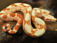 Snake morphs are just amazing Pretty Snakes, Cool Snakes, Colorful Snakes, Beautiful Snakes, Cute Reptiles, Reptiles And Amphibians, Snake Enclosure, Snake Images, Boa Constrictor