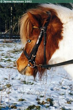 Mamman Rolliska - Shetland Pony mare