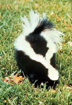 Remove Skunk Smell from Pets