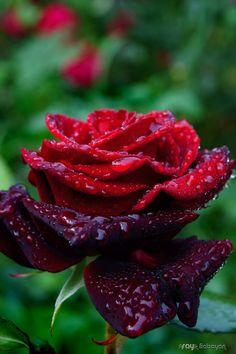 ✿ڿڰۣ(̆̃̃❤Aussiegirl #Seeing #Red   Beautiful Ruby Red Rose