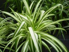 Plants are the Strangest People: Single Mother (Chlorophytum comosum) Chlorophytum, New Roots, Small White Flowers, Spider Plants, Green Plants, Pot Plants, Succulents Garden, Garden Pots, Garden Ideas