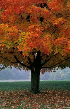 I think that I shall never see, a poem as lovely as a tree. A maple in all her splendor.Fall