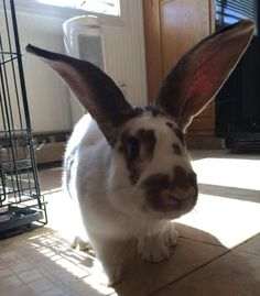Meet Klaus big ears (PopUp), an adoptable Flemish Giant Rabbit | Norwalk, CT | PopUp is a sweet, very friendly in-your-face, 10+ pound boy whose owner became tired of him and...