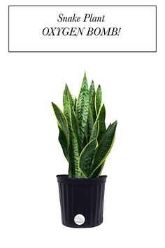 One of the most popular oxygen bombs out there! Snake plant is a beautiful floor container indoor plant to clean air inside the home. It also adds beautiful texture in home decor. Perfect gift for urban gardeners. Air Filtering Plants, Snake Plant, Beautiful Textures, Indoor Plants, House Plants, Outdoor Gardens, New Homes, Container