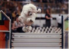 Harptime Poodles | Agility
