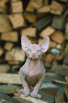 Hairless Cat... I love all animals, but yikes! Not sure how to feel about this one... :-|