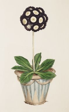 Engraving Illustration, Illustration Art, Primula Auricula, Alpine Plants, Framed Art, Wall Art, Primroses, Flower Art, Art Flowers