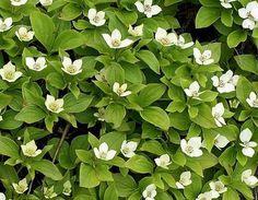 Cornus canadensis - Dwergkornoelje - Bodembedekker; 15-20 cm., bloeit mei-juni, daarna rode besjes; blijft niet groen in de winter. In border of onder boom, humusrijke vochtige grond, halfschaduw.