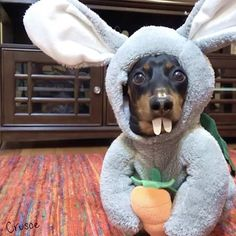 """Crusoe the celebrity dachshund — """"Now you know where Easter eggs come from… """" ~..."""