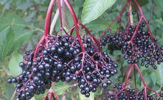 Holunder trägt nicht nur schöne Blüten, sondern liefert auch gesunde Früchte…