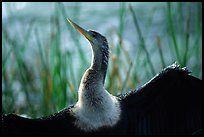Ahinga. Everglades National Park ( color)