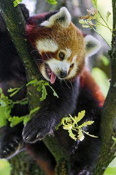 earthandanimals:  This Red Panda is hot!! byTambako The Jaguar