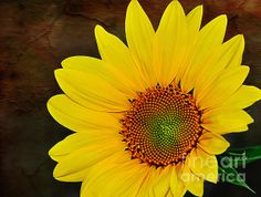 #GLOWING #SUNFLOWER #Nature #Photograph - Quality Prints & Cards at: http://kaye-menner.artistwebsites.com/featured/glowing-sunflower-kaye-menner.html  -