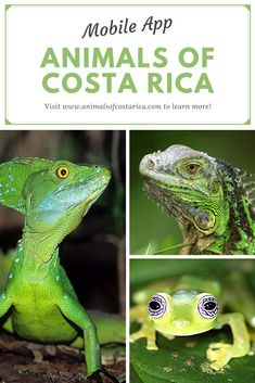 This app is the first comprehensive field guide of animals of Costa Rica containing almost 7000 pictures of more than 4700 common or spectacular species from mammals, reptiles, birds, amphibians as well as freshwater and marine fish to insects and spiders and many more. This image shows a Green Iguana (Iguana iguana), a Plumed basilisk (Basiliscus plumifrons) and a Ghost Glass Frog (Sachatamia ilex). #ACRApp #AnimalsOfCostaRica #Reptiles #Lizards #Frogs #PuraVida Amphibians, Reptiles, Mammals, Green Iguana, Glass Frog, Marine Fish, Frozen Birthday Party, Field Guide, Image Shows
