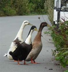 Indian Runner Ducks...I would like these lovely ladies to patrol the farm and lay eggs.