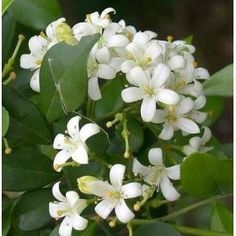 Jasmine Flower blooming outside of St. I introduced Charlotte and E to one of my favorite scents after church. Oh wow was the response. Jasmine Plant, Jasmine Oil, White Jasmine, Rare Flowers, Exotic Flowers, White Flowers, Beautiful Flowers, My Flower, Flower Power