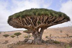 Dorstenia gigas in Socotra Yemen. [6000x4000] [OS]