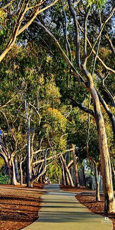 Eucalyptus Walk, La Jolla, California, by Russ Harris