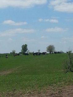 Ohnemus cattle in Iowa
