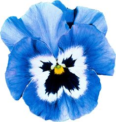 Giant Pansies 'Joker Light Blue' plus pansies are edible!  If you don't like the name, call them violas
