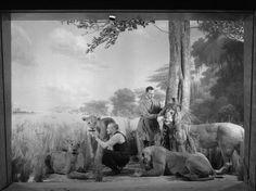"""Bierwert, Thane L., """"Preparing African Lion Group, 1935,"""""""