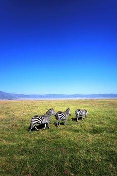 wild-earth: Zebras in the Ngorongoro Crater, Tanzania