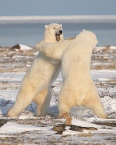 What do polar bears eat? In this article we are going to focus on the types of food that polar bears eat in the wild as well as in captivity. Beautiful Creatures, Animals Beautiful, Cute Animals, Mundo Animal, My Animal, Churchill Polar Bears, Mon Zoo, Baby Polar Bears, Canadian Wildlife