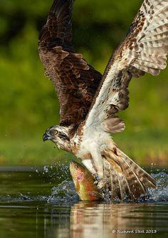 Osprey at Rothiemurchus , Scotland -  photo Richard Steel Wildlife Photographic Journals