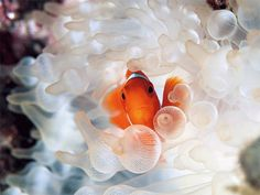 Clownfish and Bubble-Tipped Anemone (Photograph by David Doubilet and available as wallpaper at National Geographic)