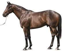 Street Sense (USA) 2004 Dkb.h. (Street Cry (IRE)-Bedazzle (USA) by Dixieland Band (USA) First horse to win both the Kentucky Derby & the Breeders' Cup Juvenile. Also won the Travers S, Jim Dandy S, & Tampa Bay Derby. Standing at Darley, Kentucky. Stood 1 year at Darley Japan (2013).