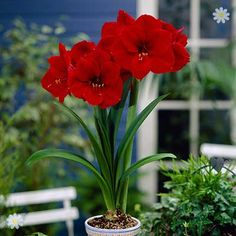nice Gifts For Gardeners Red Amaryllis Bulb 26/28cm with Ceramic Pot Check more at http://www.gardenorchid.co.uk/product/gifts-for-gardeners-red-amaryllis-bulb-2628cm-with-ceramic-pot/
