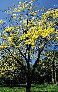 Tabebuia serratifolia,ipe amarelo,native Brasil