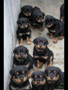 Rott puppy cuteness overload!!