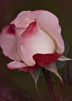 Vintage July Rose By Richard Cummings Beautiful Flowers Garden, Amazing Flowers, My Flower, Beautiful Roses, Pretty Flowers, Flower Power, Fire And Ice Roses, Pink Roses, Pink Flowers