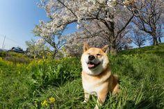MARU el perro sonriente de Japón   Rays Arts Magazine #dog #happy #japan #maru
