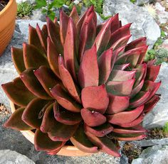 Echeveria 'Victor Reiter' | Flickr - Photo Sharing!