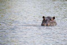 Peek-a-boo Hippo. Chobe River Cruise, Botswana. #Africa #Travel #Wildlife