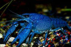 Blauer Floridakrebs/blue florida cancer, via Flickr.