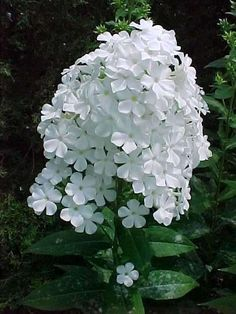 David Phlox  (mine came from a friend in Chicago 19 years ago and has been divided again and again to other homes.)