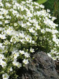 """Arenaria montana """"Blizzard"""" / Mountain Daisy - PlantGenesis"""