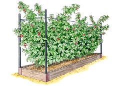 Royal Raspberry  A raised bed makes raspberries more manageable and improves productivity. Good support means higher quality fruit and easier picking. Suitable for red, yellow or black raspberries.