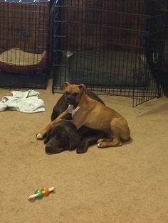 Hazel laying on Abby