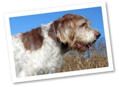 Spinone Italiano: These Italian dogs originated during the 1200s as pointers and retrievers. It is one of the earliest breeds to be developed as a pointing dog. They are affectionate, outgoing, cooperative, and very willing to please.