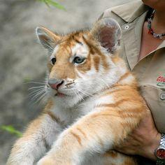Golden Begal Tiger Cub