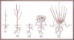 How to grow your own rootstocks