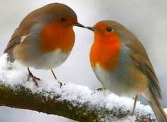 "** Little Robin Redbreast ""Love Birds""! Pretty Birds, Love Birds, Beautiful Birds, Animals Beautiful, Birds Pics, Animals Amazing, Beautiful Couple, National Bird Of England, Robin Vogel"